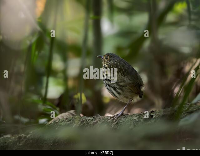Streifen-chested Antpitta (Hylopezus perspicillatus), Gamboa, Panama, März Stockbild