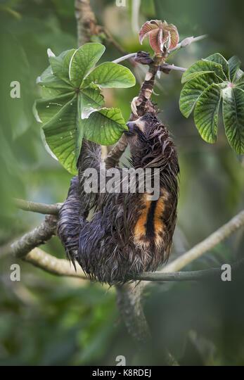 Braun - Drei throated-toed Sloth (Bradypus variegatus), männlich Fütterung auf cecropia Baum Blätter, Stockbild