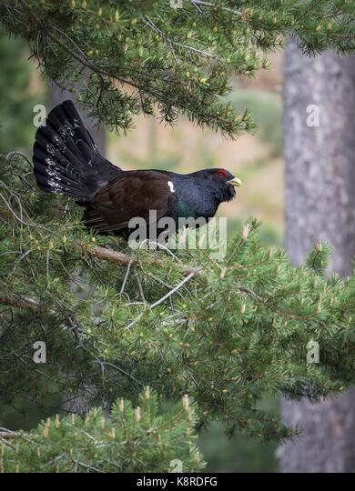 Western Auerhahn (Tetrao urogallus), männlicher, Spanische Pyrenäen, Aragon, Spanien, Mai Stockbild
