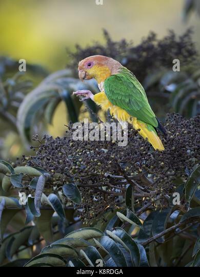White-bellied Parrot (Pionites leucogaster), Mato Grosso, Brasilien, Juni Stockbild