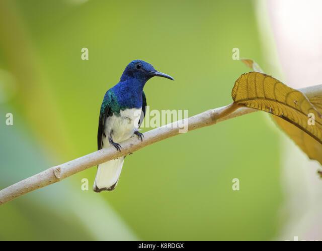 Weiß-necked Jakobiner (mellivora Florisuga), männlich, Gamboa, Panama, März Stockbild