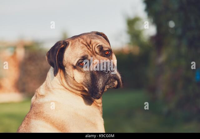 Traurig Aussehen der große Hund. Cane Corso Hund suchen an der Kamera. Themen Loyalität, verloren oder Stockbild