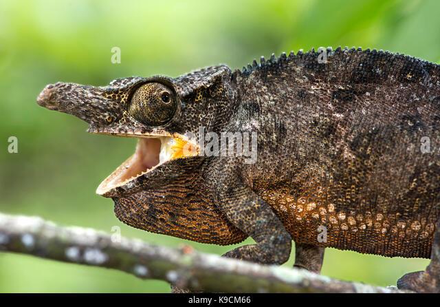 Chameleon Furcifer Bifidus, männlich, (Chameleonidae), endemisch auf Madagaskar, Andasibe Nationalpark, Madagaskar Stockbild