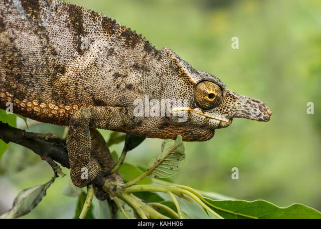 Chameleon (furcifer Bifidus), männlich auf Zweig, Porträt, endemisch auf Madagaskar, Andasibe Nationalpark, Stockbild