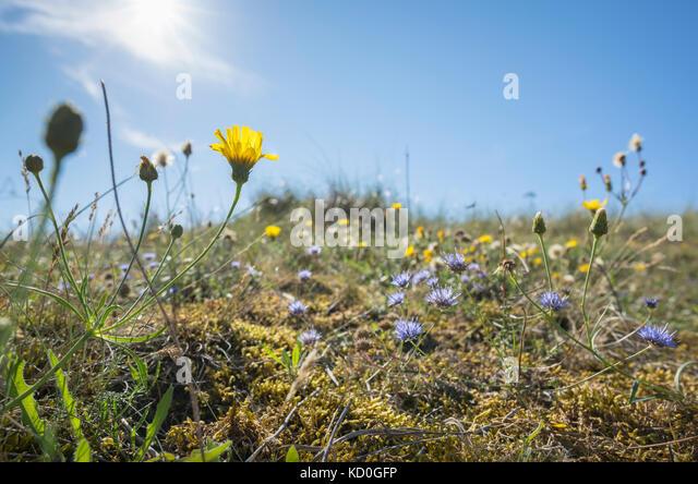 Blumen wachsen in den Dünen auf der Insel Vlieland Vlieland, Osten, Friesland, Niederlande Stockbild