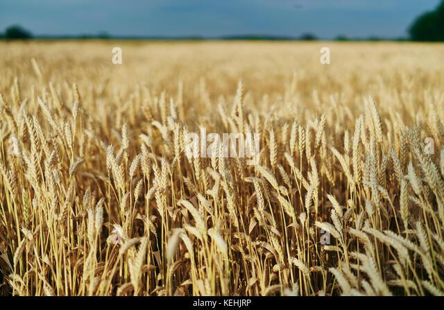 Bereich der goldene Weizen Stockbild