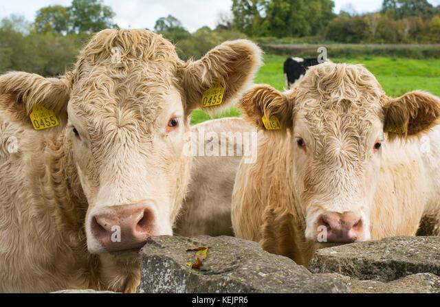 Zwei neugierige Jungen Jersey Kühe Stockbild