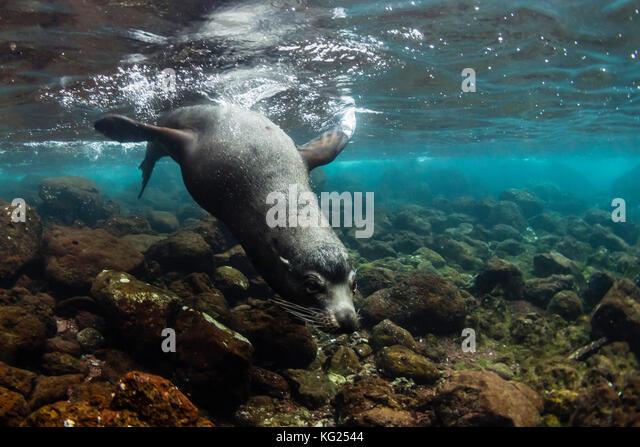 Stier Galapagos Seelöwe (Zalophus wollebaeki) Unterwasser auf der Insel Santiago, Galapagos, Ecuador, Südamerika Stockbild