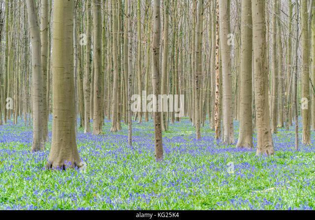 Buchenholz mit Bluebell Blumen nur auf den Boden, Halle, Flämisch Brabant Provinz, Region Flandern, Belgien, Stockbild