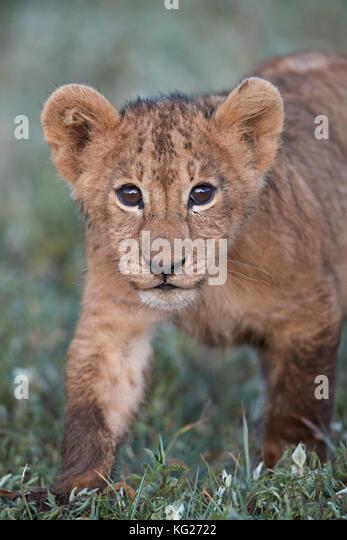 Löwe (Panthera leo) Cub, Ngorongoro Krater, Tansania, Ostafrika, Südafrika Stockbild