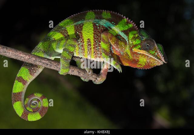 Panther chameleon (Furcifer pardalis), männlich auf Zweig, ambilobe, Diana, Madagaskar Stockbild