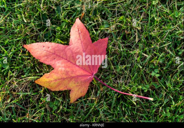 Einsamen Herbst Blatt auf Gras, Tiergarten, Berlin, Deutschland Stockbild