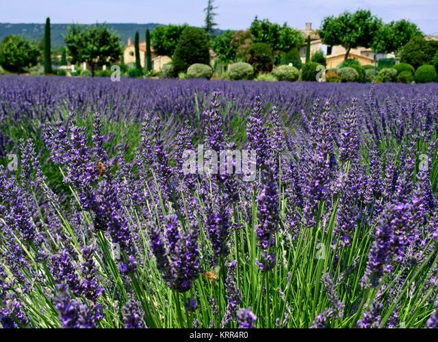 Lavendelfeld in der Provence, Frankreich Stockbild