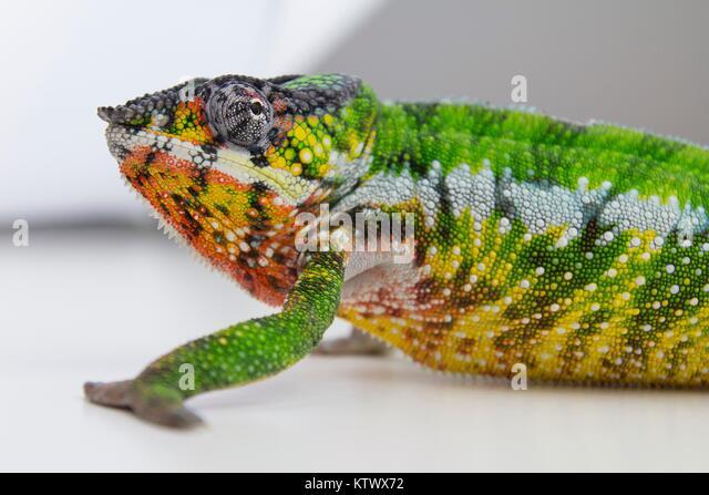 Chameleon pardalis, Madagaskar. Stockbild
