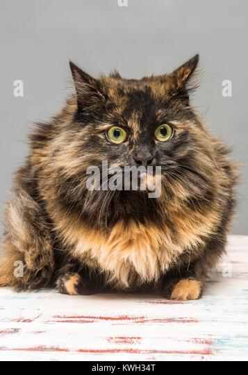 Langhaarige inländischen Tabby cat Stockbild