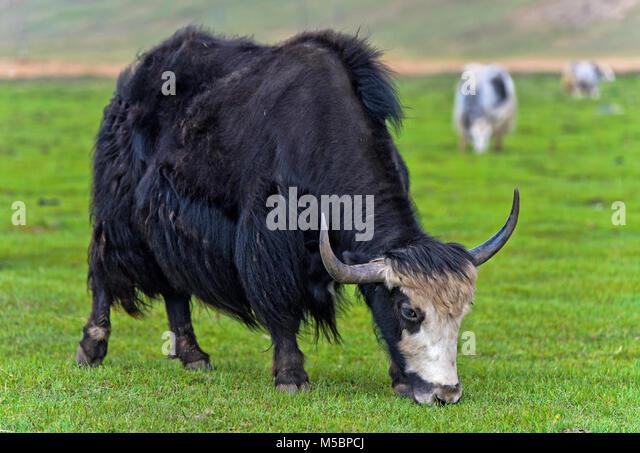 Schwarz inländische Yak (Bos grunniens) mit Hörnern auf einer Weide, gorkhi-terelj Nationalpark, Mongolei Stockbild