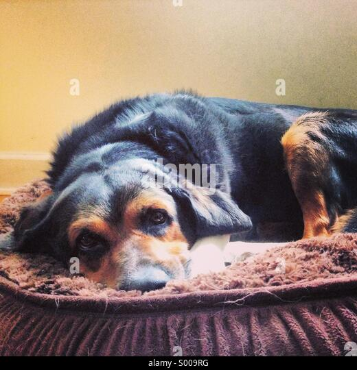 Entspannen Sie sich auf seinem Bett Hund Stockbild