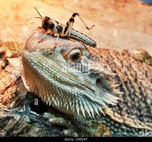 Bartagame und Locust Stockbild