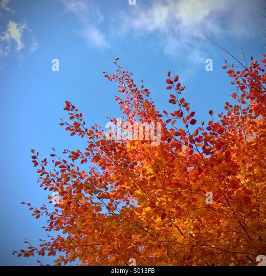 Feurige herbstliche Blätter am Baum gegen ein strahlend blauer Himmel Stockbild