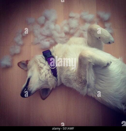 Hund in lustige Haltung nach der Zerstörung Kissen Stockbild