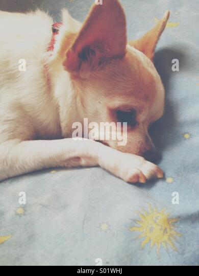 Kleine süße weiße Chihuahua ruht auf einem blauen Kissen Stockbild