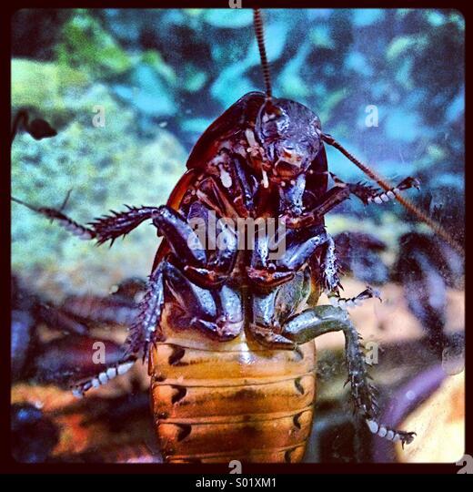 Die Unterseite einer Madagaskar Zischen Kakerlake. Stockbild