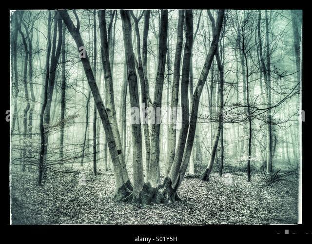 Alten Baumstämmen in einem nebligen Wald Stockbild