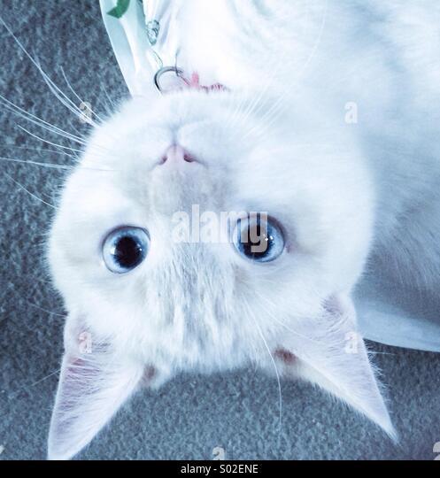 Kätzchen mit blauen Augen auf den Kopf Stockbild