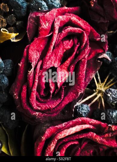 Getrocknete rote Rose Nahaufnahme Stockbild