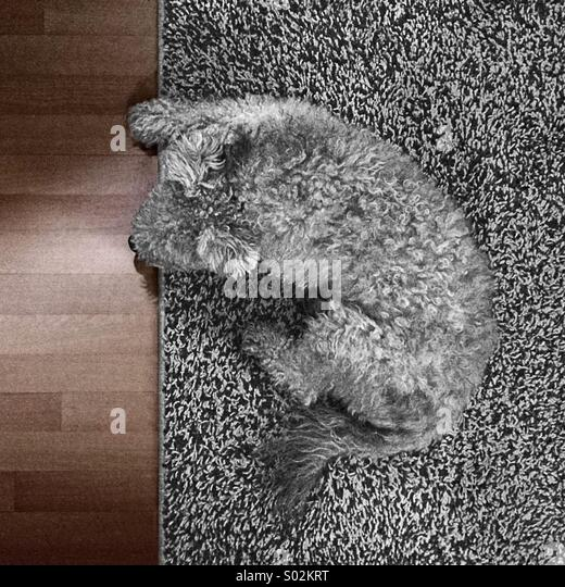 Ein grauer Hund auf einem grauen Teppich Stockbild