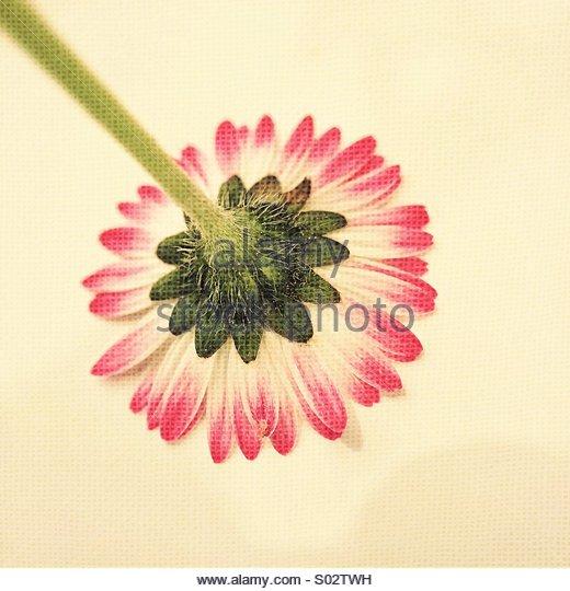 Nahaufnahme der Unterseite Daisy Blume Stockbild