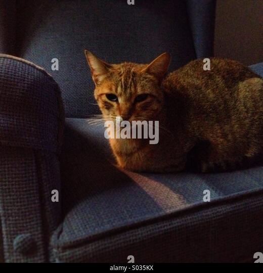 Eine braune Katze Nickerchen in einem Sofa in Prado del Rey, Provinz Cadiz, Andalusien, Spanien Stockbild