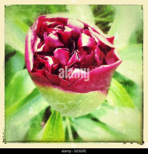 Pfingstrose Blütenknospe Eröffnung Stockbild