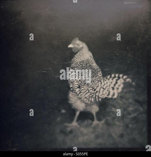Erbe Bauernhof Hühner in einem Stall-Tür. Stockbild