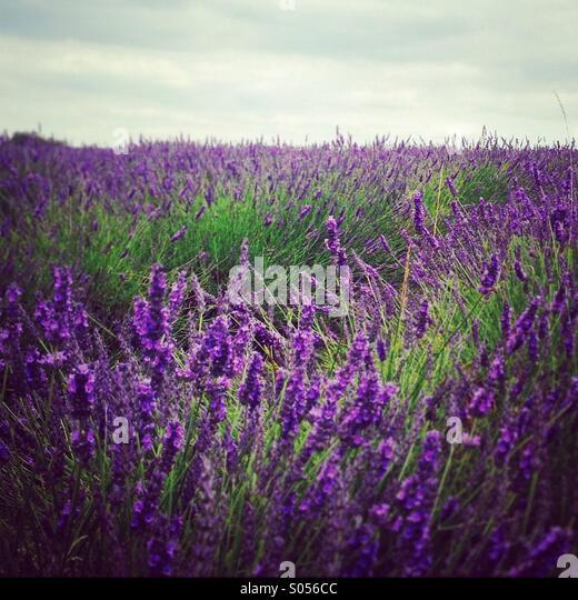 Bereich der Lavendel Stockbild
