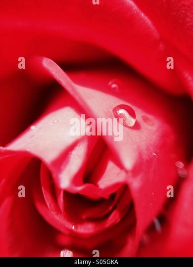 Nahaufnahme von Wassertropfen auf eine rose Stockbild