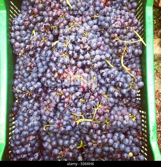 Frischen Weintrauben in Kunststoff-container Stockbild
