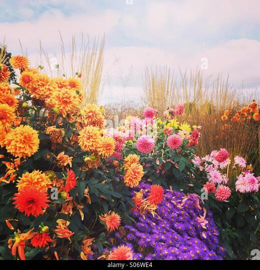 Dahlien im Herbst Stockbild