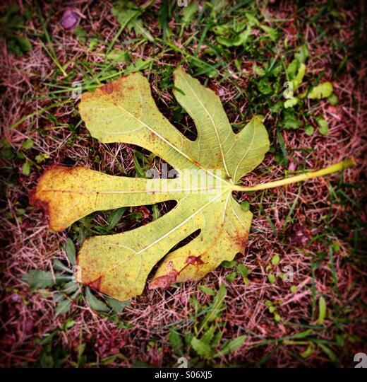 Blatt von einem Feigenbaum im Herbst Stockbild