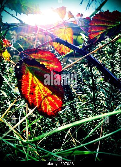 Herbst Brambles Stockbild