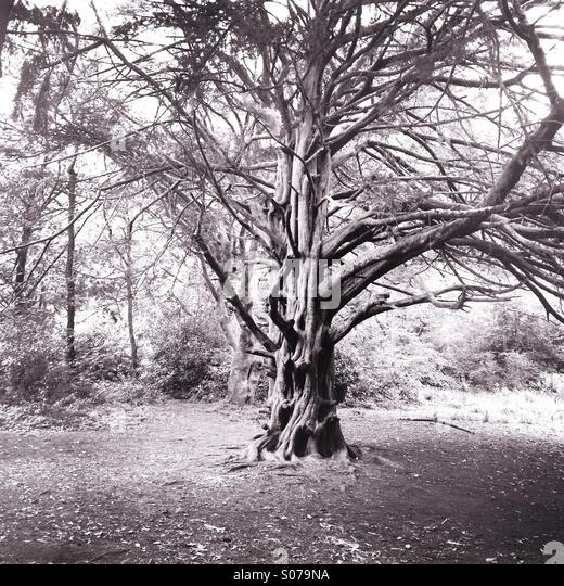 Alten Baum in einem englischen Wald Stockbild