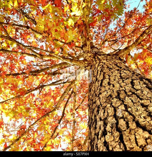 Herbst Ahornbaum Stockbild
