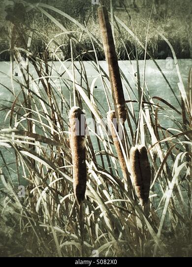 Nostalgische Schilf auf einem zugefrorenen Teich Stockbild