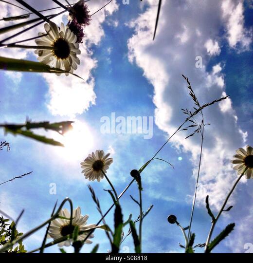 Gänseblümchen im Sonnenschein Stockbild