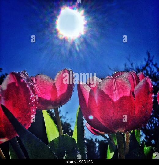 Sonnenschein und Tulpen Stockbild