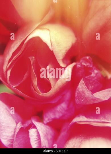 Nahaufnahme einer Rose Stockbild