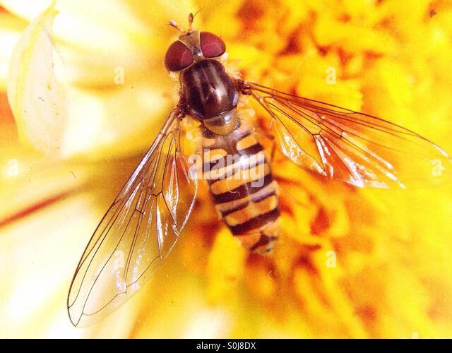 Nahaufnahme von einer Wespe auf eine gelbe Dahlie Stockbild