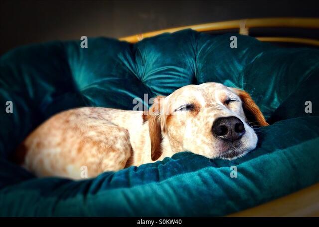 Ein Hund schläft auf einem Stuhl. Stockbild