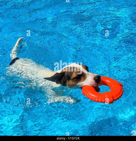 Hund in einem Pool schwimmen, während des Tragens eines Spielzeug-Lebensretter-Rings. Quadratische Ernte. Platz Stockbild