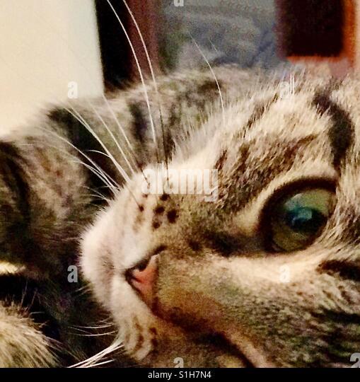 Schöne in- oder American Kurzhaar Teenager Tabby Kitten mit wunderschönen goldenen Augen und prominente Stockbild
